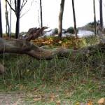 umgestürzter Baum am Weststrand