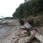 Naturbuehne Loissin, liegender Baum am Ufer