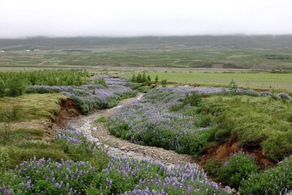 Lupinenfeld im Gebiet Suðurdalur