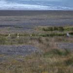 Schwäne im Skeiðarársandur