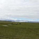 auf der Insel leben ca. 80.000 Pferde