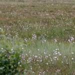 Wollgraswiesen