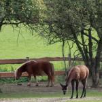 Pony und Lama