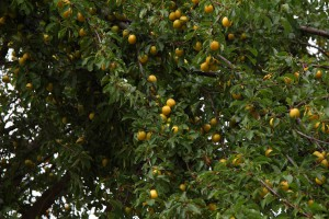 Obst am Weg