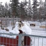 Vorfreude auf der Huskyfarm